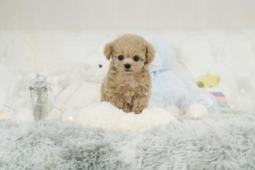 モデル犬候補!!目が大きな可愛い綺麗なレッドの女の子*44