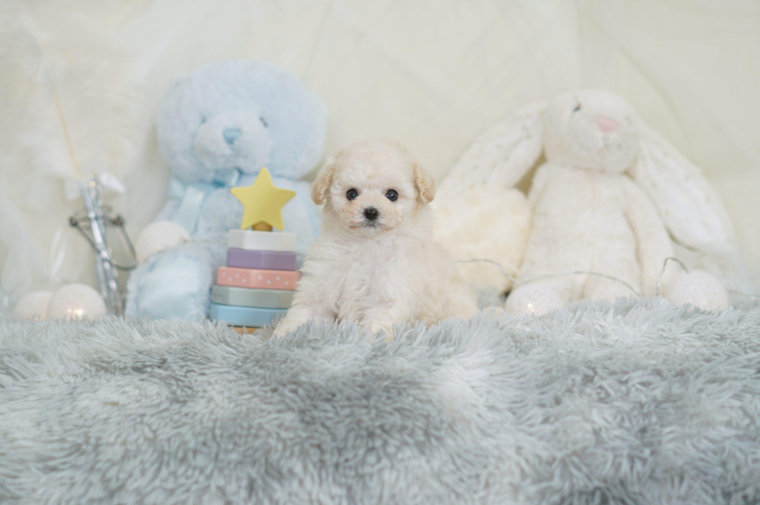ティーカッププードル ホワイト チャンピオン犬