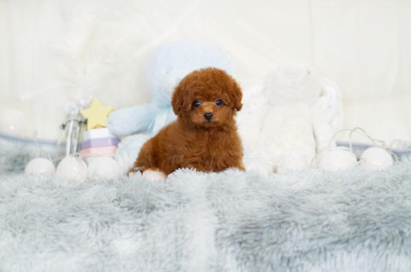 ティーカッププードル レッド モデル犬